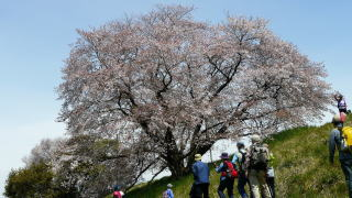 dfbe8f3a68 トレイルセンター記念写真 一本桜